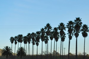 A row of palm trees at Jason-Stephens Winery in Gilroy