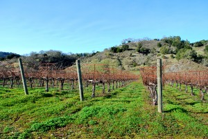 Vines at Martin Ranch Vineyards